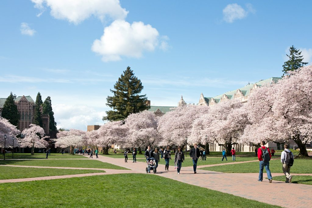 Cherry trees at the University of Washington campus.